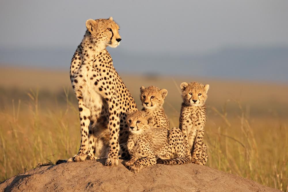 African Cats, Cheetah cubs