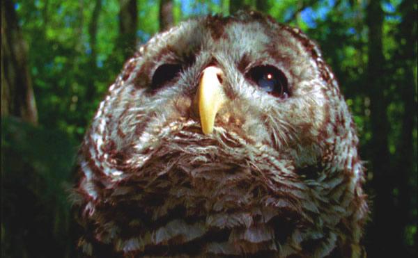 Owl Short Film Undergrowth Robert Todd
