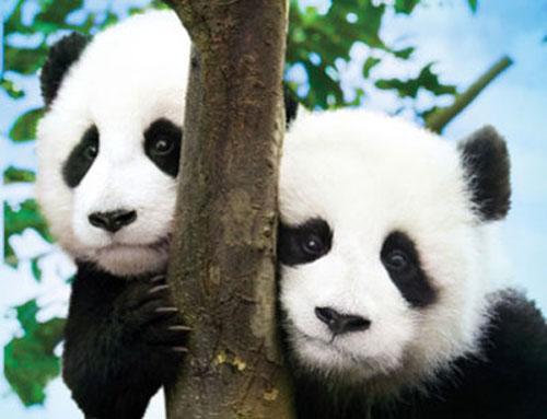 Panda Diary Tadashi Mori