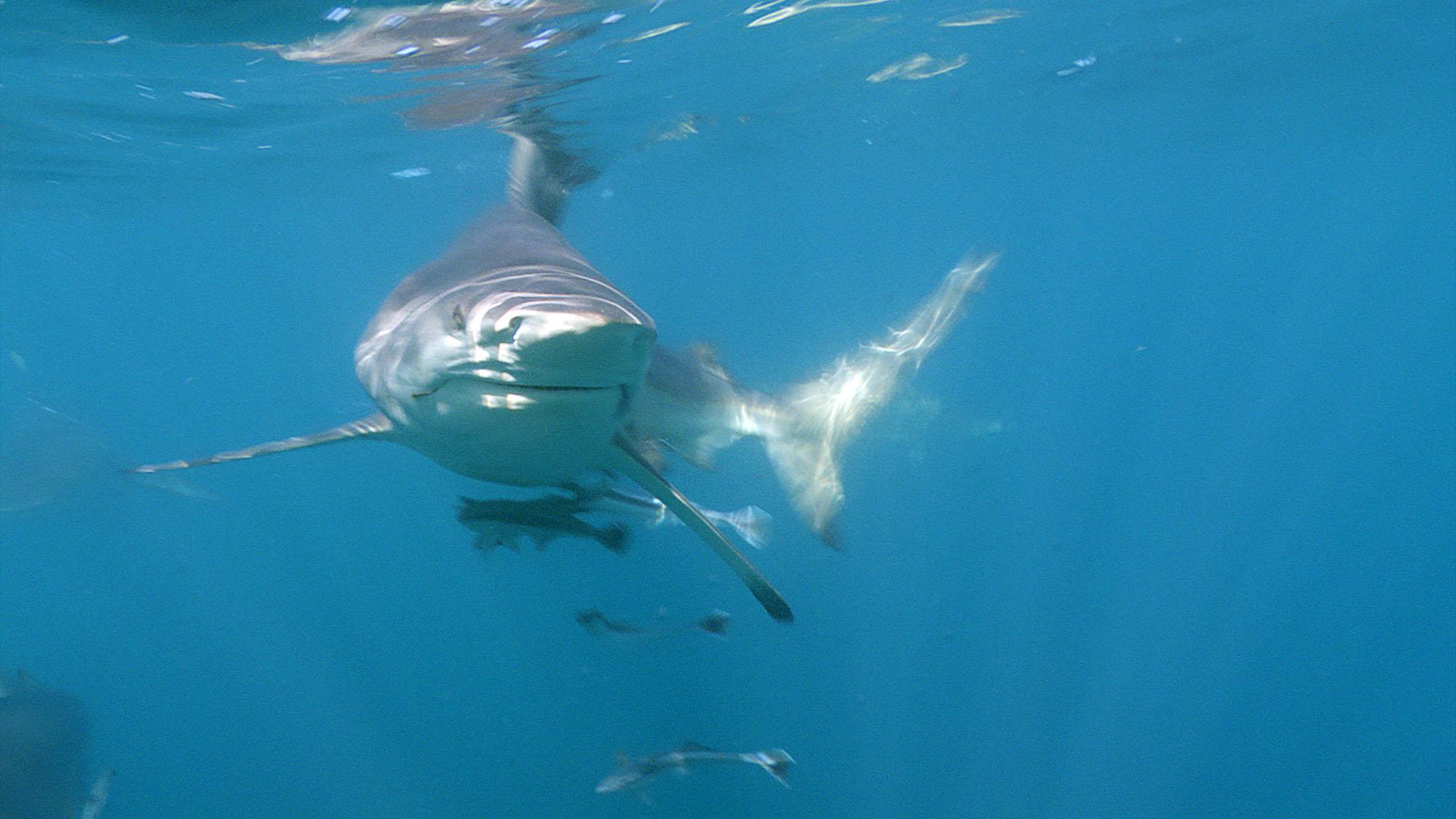 Shark in Wild Ocean